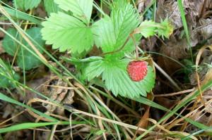 58 fraisier des bois